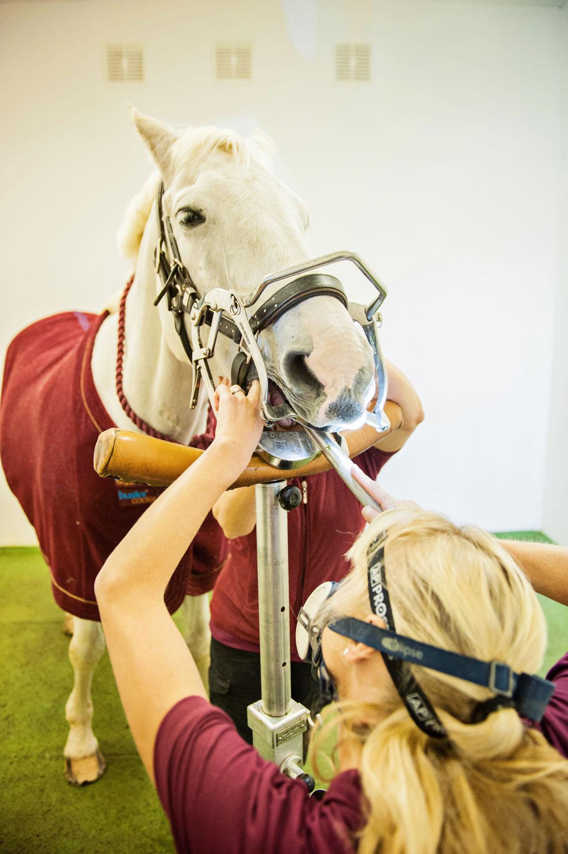 Cheltenham equine dentistry