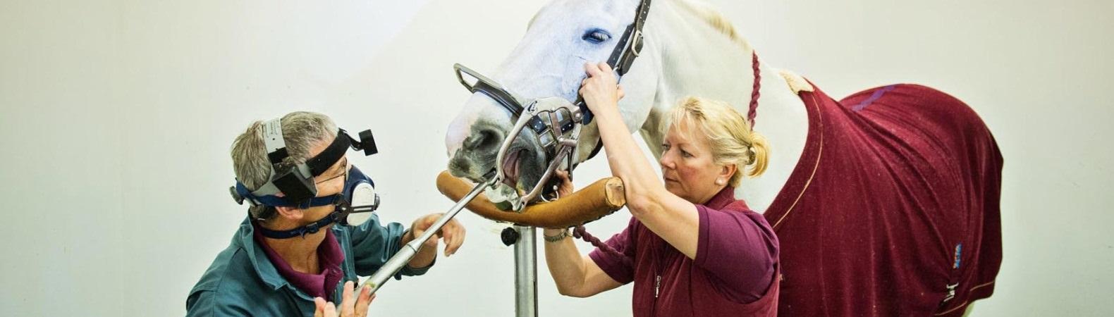 Equine Dentist Cheltenham
